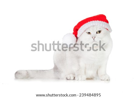 Grey british shorthair cat dressed in a christmas hat - stock photo