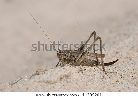 Grey bush-cricket (Platycleis albopunctata) resting in the sand, Denmark - stock photo
