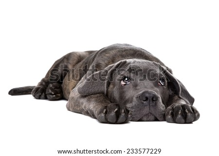 grey cane corso puppy dog laying down and looking up in front of a white background - stock photo