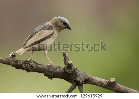 Grey-capped Social Weaver (Pseudonigrita arnaudi) Serengeti, Tanzania - stock photo