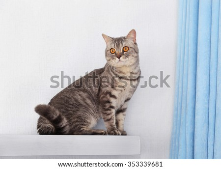 Grey cat against white wall and blue curtains, close up - stock photo