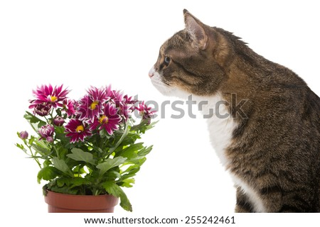 Grey cat and a bouquet of chrysanthemums, isolated on white - stock photo