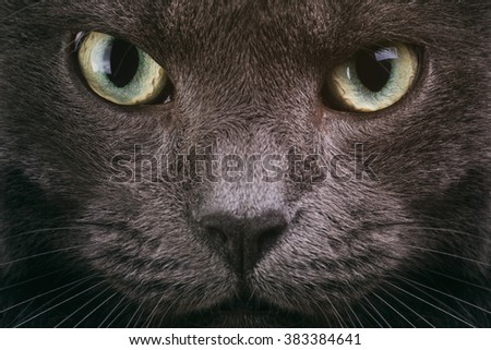 grey cat face closeup with green eyes, british cat