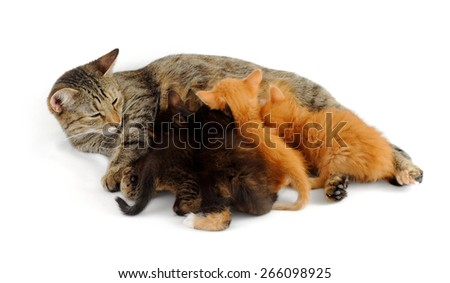 grey cat feeds kittens - stock photo