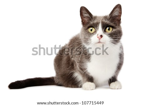 Grey cat isolated in white stalking - stock photo