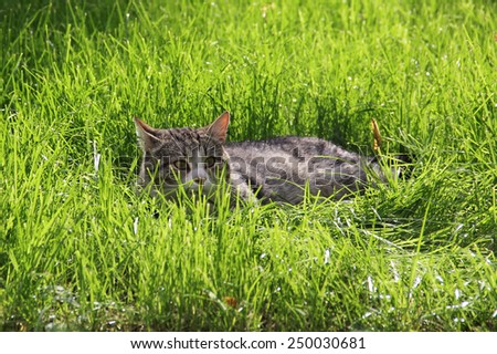 Grey Cat Laying in Tall Grass in Daylight - stock photo