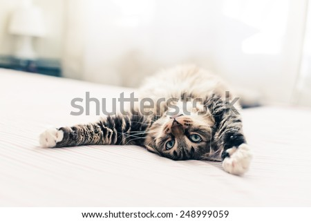 Grey cat lying on bed and stretching - stock photo