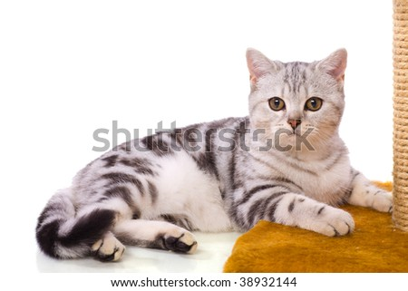 Grey cat lying pretty isolated on white