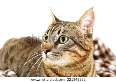 Grey cat on blanket isolated on white - stock photo