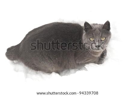 grey cat on snow - stock photo