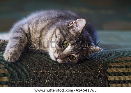 grey cat on the couch - stock photo