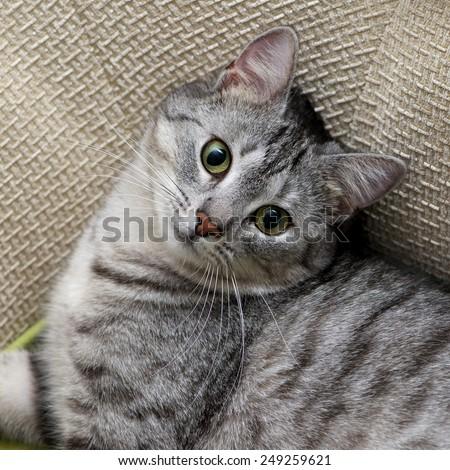 Grey cat portrait close up, domestic cat portrait, cat in romantic mood romantic cat, domestic animal, domestic cat - stock photo