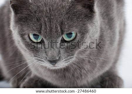 Grey cat's muzzle with green eyes closeup portrait