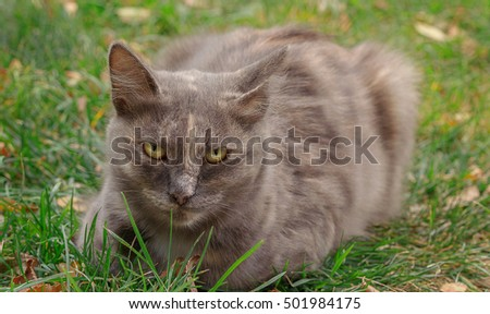 Grey cat sitting in the park on autumn grass.Selective field of focus.
