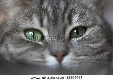 grey cat  with green eyes looking at the camera