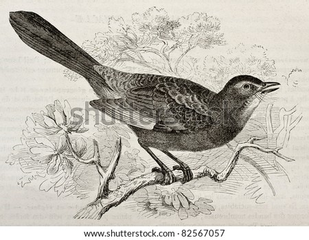 Grey Catbird old illustration (Dumetella carolinensis). Created by Kretschmer and Schmid, published on Merveilles de la Nature, Bailliere et fils, Paris, 1878 - stock photo
