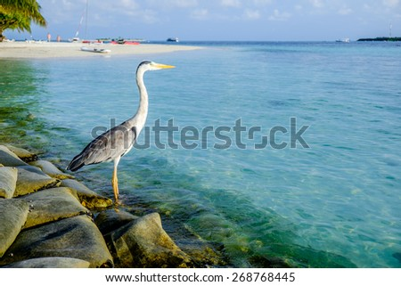 Grey Chiron on the beach. Maldives Indian Ocean. - stock photo