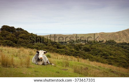 grey coloured cattle beast standing in dry hill country pasture land, summer, East Coast, New Zealand