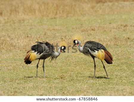 Grey Crowned Crane Balearica regulorum gibbericeps