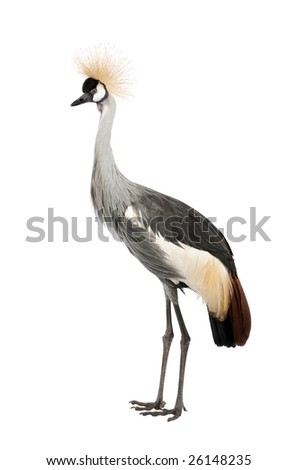 Grey Crowned Crane - Balearica regulorum (18 months) in front of a white background - stock photo