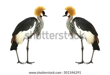 Grey Crowned Crane isolated on white background. - stock photo