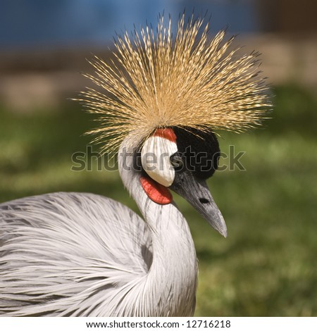 Grey Crowned Crane. This photo was taken on the island of Fuerteventura (Spain). - stock photo