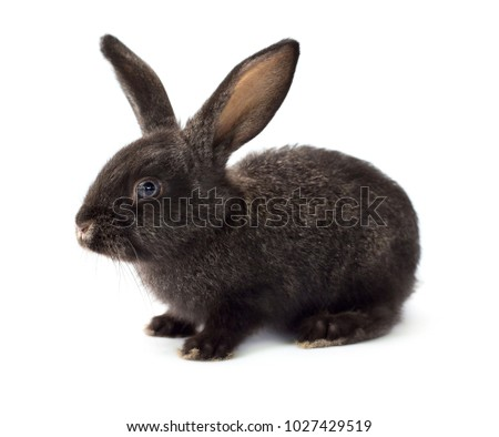 Grey cute rabbit isolated on white background