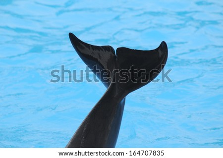 Grey Dolphin on Very Blue Water in Tenerife, Spain - stock photo