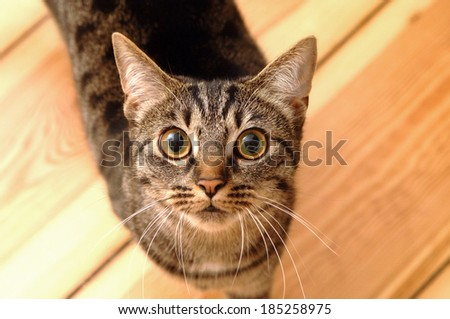 Grey domestic cat looking up in the camera - stock photo