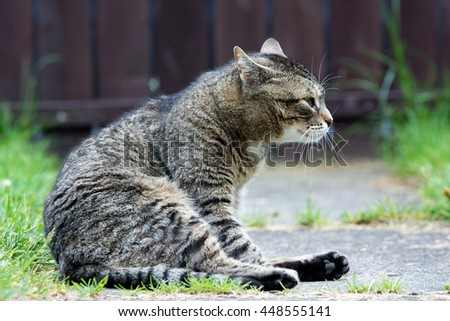 Grey domestic cat on the garden
