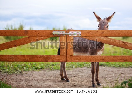 Grey donkey and wooden gate - stock photo