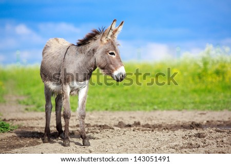 Grey donkey in field - stock photo