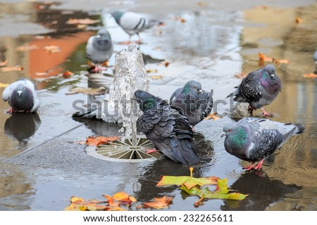 Grey doves near fountain, townhall reflection and autumn leaves  - stock photo