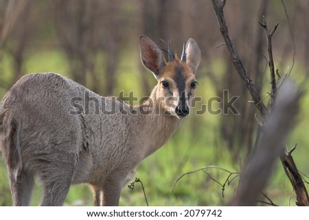 Grey Duiker side profile, looking at the camera - stock photo