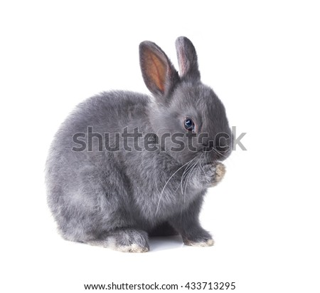 Grey dwarf bunny fluffy licking his paw. Isolated on white background - stock photo