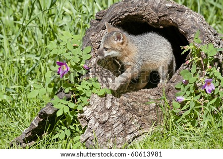 Grey Fox kit plays in hollow log in alpine meadow. - stock photo