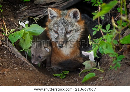 Grey Fox (Urocyon cinereoargenteus) and Kit Sit in Den Entrance - captive animal - stock photo