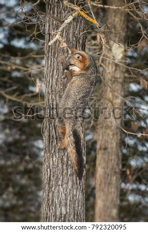 Grey Fox (Urocyon cinereoargenteus) on Side of Tree - captive animal