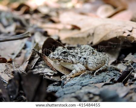 Grey frog - stock photo