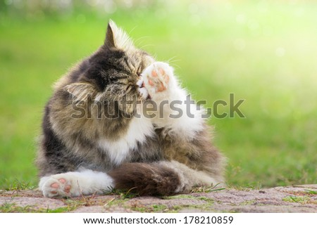 grey furry Cat cleaned outdoors in green garden in sunlight  - stock photo