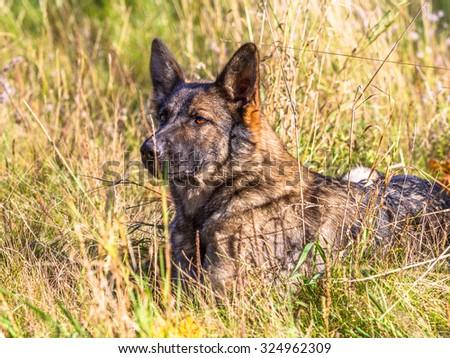 Grey german shepherd dog lying in the grass - stock photo