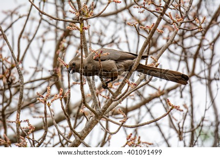 Grey Go-away bird in a tree