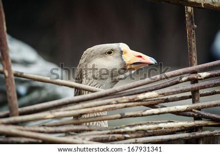 Grey goose - stock photo