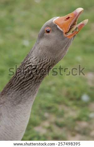 Grey Goose, looking at camera and screaming - stock photo