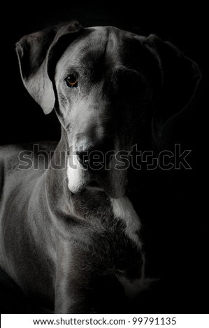 Grey Great Dane Dog in an artistic light setting - stock photo