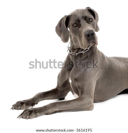 Grey Great Dane lying down in front of white background - stock photo