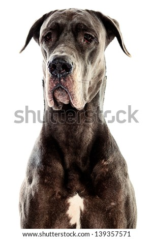 Grey Great Dane sitting over white background - stock photo