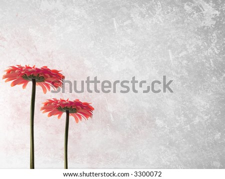 Grey grunge background with two pink gerbers - stock photo