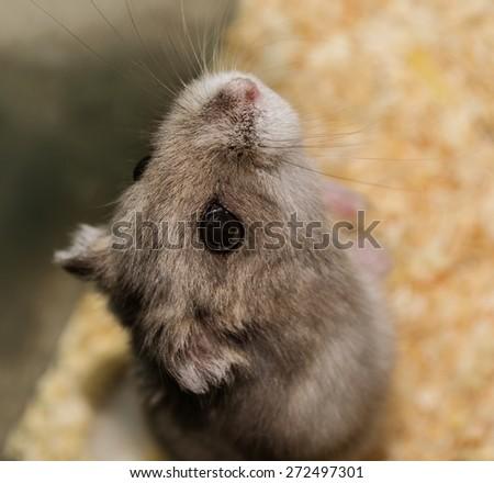 Grey hamster - stock photo