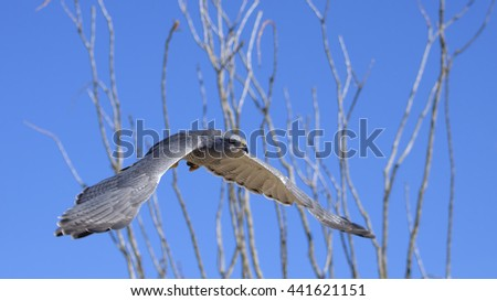Grey Hawk flying against ocotillo and clear sky. - stock photo